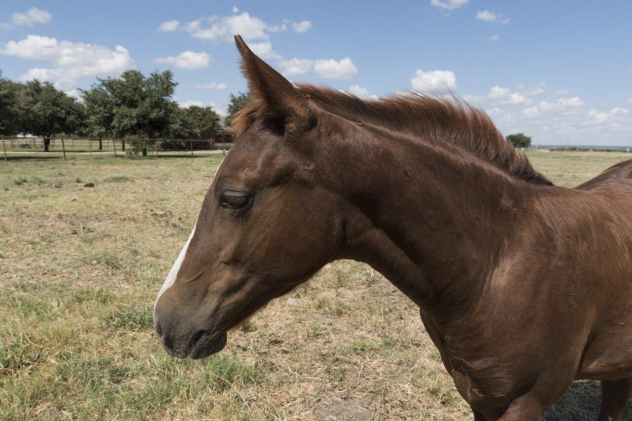 quarter-horse-896952_1280