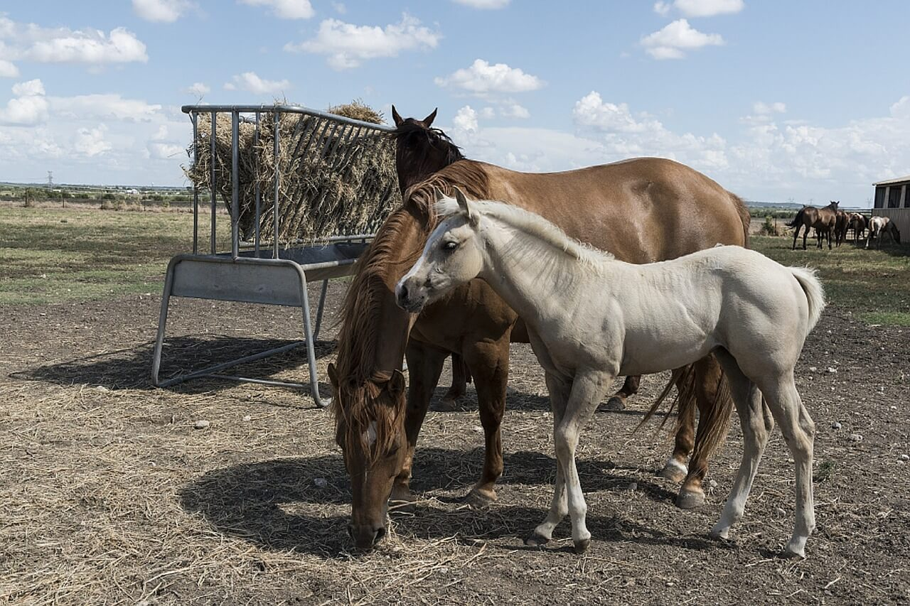 quarter-horses-746972_1280